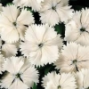 Picture of Dianthus Angel of Purity