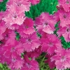 Picture of Dianthus Angel of Grace