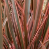 Picture of Phormium Sundowner