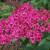 Picture of Spiraea Anthony Waterer
