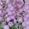 Picture of Delphinium Guinevere