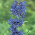 Picture of Penstemon True Blue