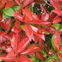Picture of Photinia Red Robin Std