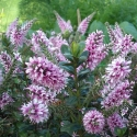 Picture of Hebe Garden Beauty
