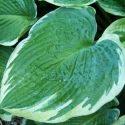 Picture of Hosta Northern Halo