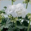 Picture of Geranium Blanca