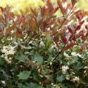 Picture of Osmanthus purpurea