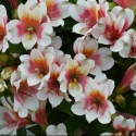 Picture of Alstroemeria Lucky