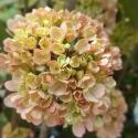 Picture of Viburnum Roseace