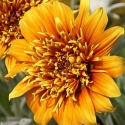 Picture of Gazania Sunset Jane