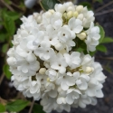 Picture of Viburnum Eskimo