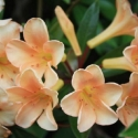 Picture of Rhododendron Vireya Just Peachy