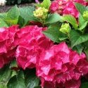 Picture of Hydrangea Saxon Red Dawn