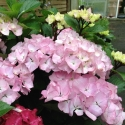 Picture of Hydrangea Saxon Pink Maiden