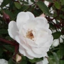 Picture of Patio Cloud Std 45cm-Rose