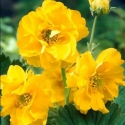 Picture of Geum Lady Stratheden