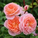 Picture of Pirouette Clg-Rose