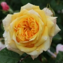 Picture of Yellow Charles Austin-Rose