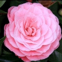 Picture of Camellia Nuccios Cameo