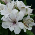Picture of Alstroemeria Magic White