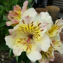 Picture of Alstroemeria Summertime
