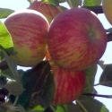 Picture of Apple Red Gravenstein M27