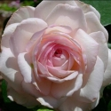 Picture of Pink Ice Std 80cm-Rose