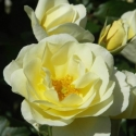 Picture of St Marys Rose Std 80cm-Rose