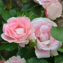 Picture of Eye Candy Std 45cm-Rose