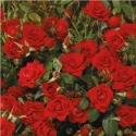 Picture of Global Cover Std 45cm-Rose