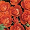 Picture of Top Marks-Rose