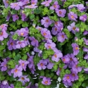 Picture of Bacopa Gulliver Violet