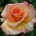 Picture of Nelson Girls Std 80cm-Rose