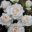 Picture of Princess Of Wales Std 80cm-Rose