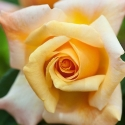Picture of Special Occasion Std 80cm-Rose
