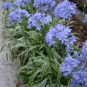 Picture of Agapanthus Thunderstorm