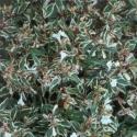 Picture of Abelia Grandiflora Snowdrift