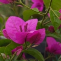 Picture of Bougainvillea magnifica Traillii Std
