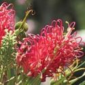 Picture of Grevillea Banksii Forsterii