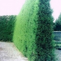 Picture of Cryptomeria Japonica Egmont