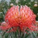 Picture of Leucospermum Blanche Ito