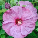 Picture of Hibiscus Berrylicious