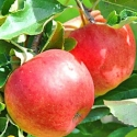 Picture of Apple Splendour M793