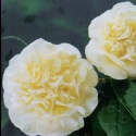 Picture of Camellia Lemon Drop