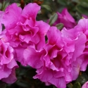 Picture of Azalea Pacific Twilight