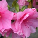 Picture of Azalea Pink Ruffles
