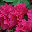 Picture of Azalea Red Ruffles