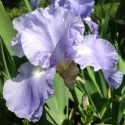 Picture of Iris Bearded Soft Blue Tall