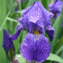 Picture of Iris Bearded Deep Blue