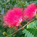 Picture of Albizia Red Silk